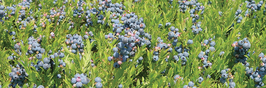 Cooperative Extension: Maine Wild Blueberries